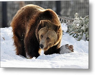 229p Grizzly Bear Metal Print