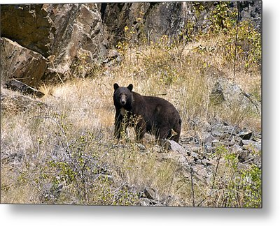 231p Black Bear Metal Print