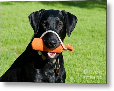 Black Labrador Retriever Metal Print