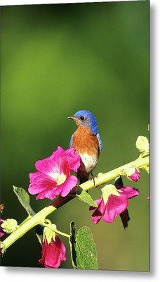 Eastern Bluebird (sialia Sialis Metal Print