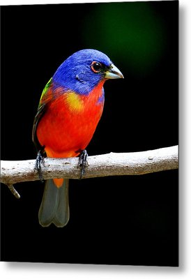 Painted Bunting Metal Print