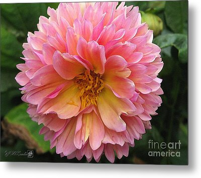 Dahlia From The Showpiece Mix Metal Print by J McCombie