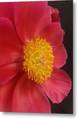 2nd Peony Metal Print by Heather L Wright
