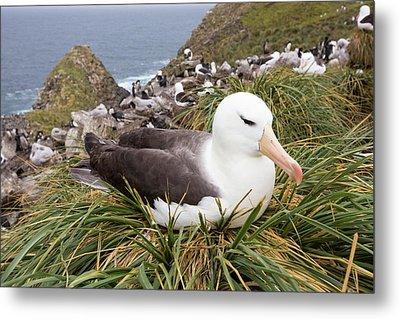 A Black Browed Albatross Metal Print