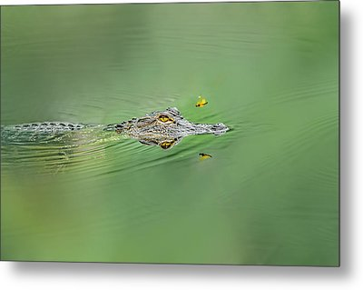 Alligator Metal Print by Peter Lakomy