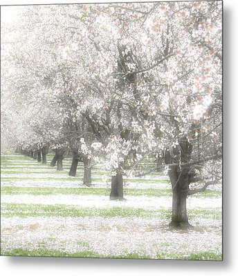 Almond Orchard Metal Print by Carol Leigh