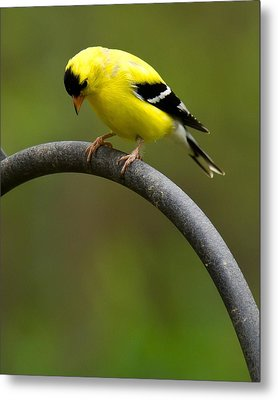 American Goldfinch Metal Print by Robert L Jackson