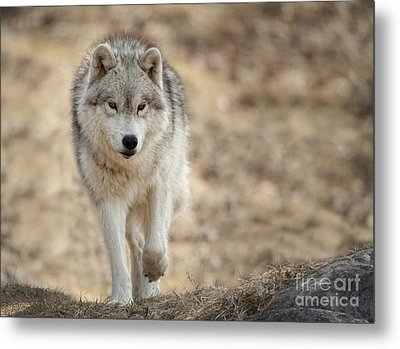 Metal Print featuring the photograph Arctic Wolf by Wolves Only