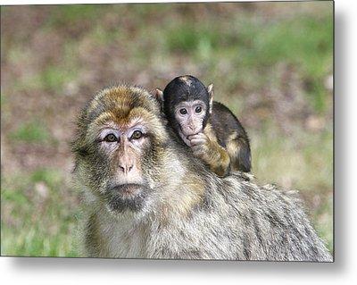 Barbary Macaques Metal Print by M. Watson
