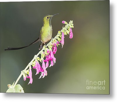 Metal Print featuring the photograph Black-tailed Train Bearer Hummingbird by Dan Suzio