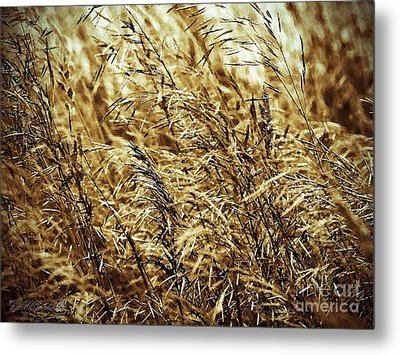 Brome Grass In The Hay Field Metal Print by J McCombie