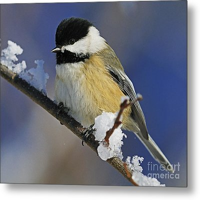 Winter Chickadee... Metal Print by Nina Stavlund
