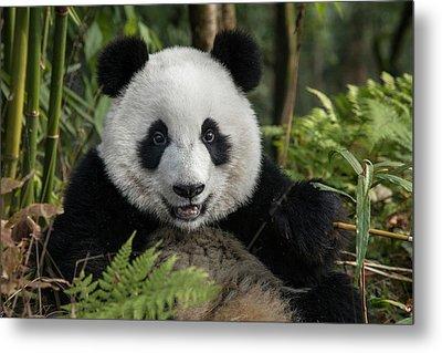 China, Chengdu, Chengdu Panda Base Metal Print by Jaynes Gallery