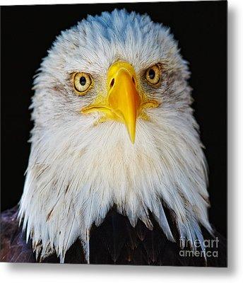 Closeup Portrait Of An American Bald Eagle Metal Print
