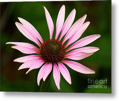 Metal Print featuring the photograph Coneflower - Echinacea by Lisa L Silva