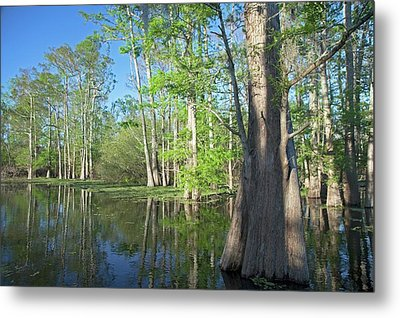 Cypress-tupelo Forest Metal Print by Jim West