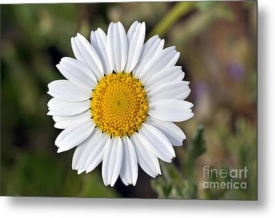 Metal Print featuring the photograph Daisy Flower by George Atsametakis