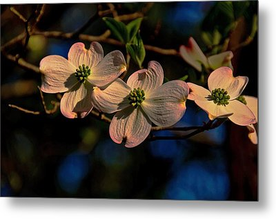 Metal Print featuring the photograph 3 Dogwoods On A Branch by John Harding