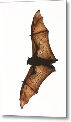 Flying Fox Metal Print