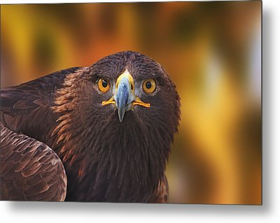 Golden Eagle  Metal Print by Brian Cross