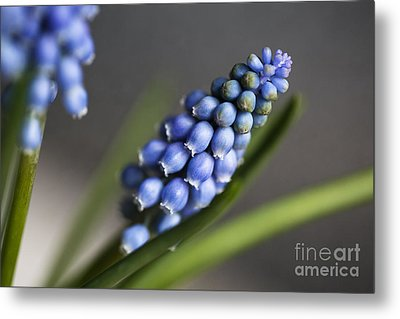 Grape Hyacinth Metal Print by Nailia Schwarz