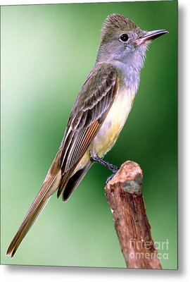 Great Crested Flycatcher Metal Print by Millard H. Sharp
