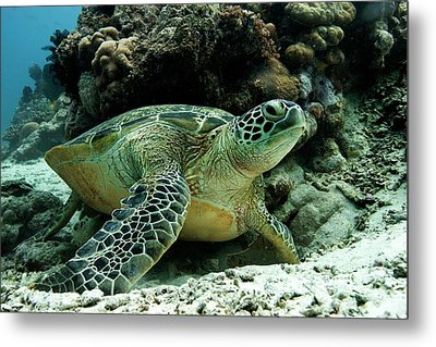 Green Sea Turtle Metal Print by Louise Murray
