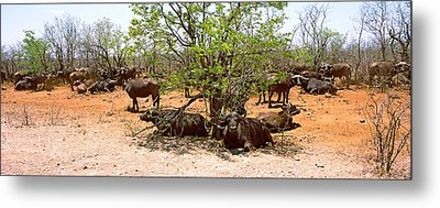Herd Of Cape Buffaloes Syncerus Caffer Metal Print by Panoramic Images