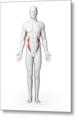 Human Abdominal Muscles Metal Print by Sebastian Kaulitzki