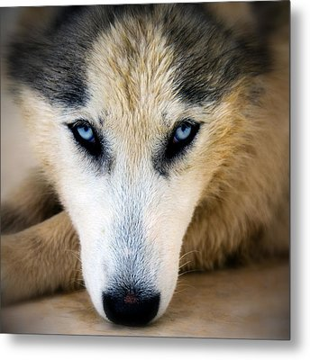 Husky  Metal Print by Stelios Kleanthous
