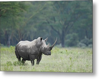 Kenya, Nakuru National Park Metal Print