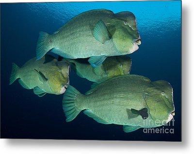 Large School Of Bumphead Parrotfish Metal Print by Steve Jones