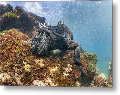 Marine Iguana Feeding On Algae Punta Metal Print by Tui De Roy