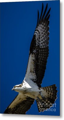 Metal Print featuring the photograph Osprey In Flight by Dale Powell