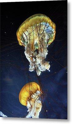 Pacific Sea Nettle Jellyfish Metal Print