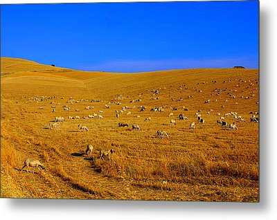 Sheep Grazing In The Countryside Tarquinian Metal Print