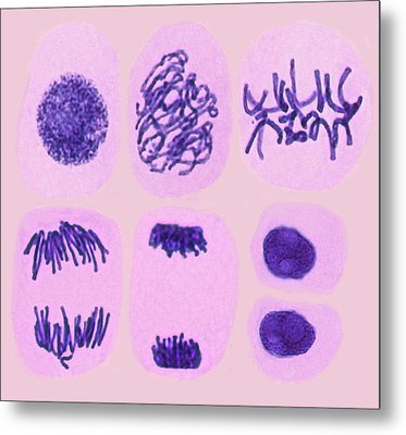 Plant Cell Mitosis Metal Print by Steve Gschmeissner