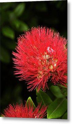 Pohutukawa Flower, Dunedin, South Metal Print by David Wall