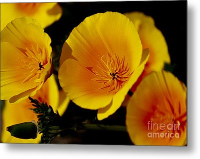Poppy Flowers Metal Print by Ivete Basso Photography