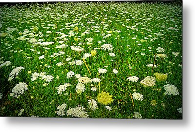 Queen Annes Lace Metal Print by Carol Toepke