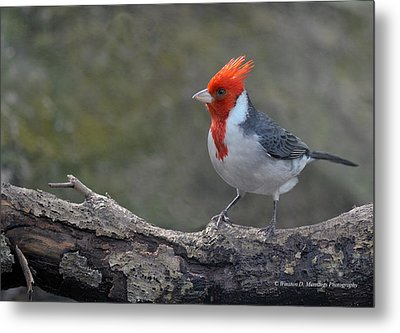 Red-capped Cardinal Metal Print