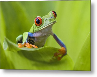 Red-eyed Tree Frog Costa Rica Metal Print by Suzi  Eszterhas