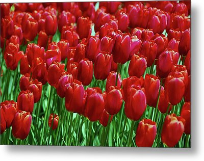 Metal Print featuring the photograph Red Tulips  by Allen Beatty