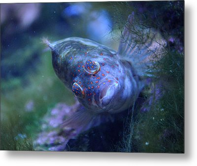 Metal Print featuring the photograph Redspotted Hawkfish  by Savannah Gibbs