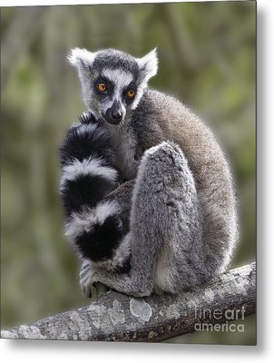 Ring-tailed Lemur Metal Print by Liz Leyden