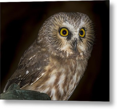 Saw-whet Metal Print by Jean Noren