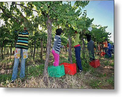 Seasonal Workers Harvesting Grapes Metal Print by Tony Camacho