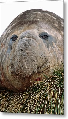 Southern Elephant Seal (mirounga Leonina Metal Print
