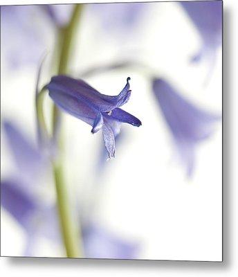 Spring Bluebells Metal Print by Carol Leigh