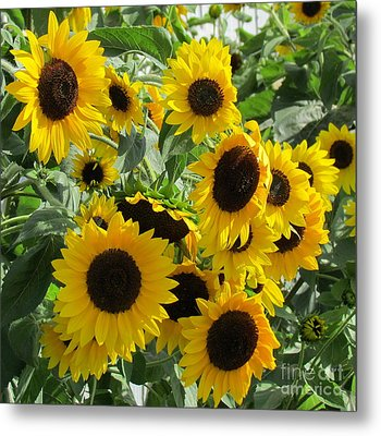 Sunflower Field Metal Print by France Laliberte